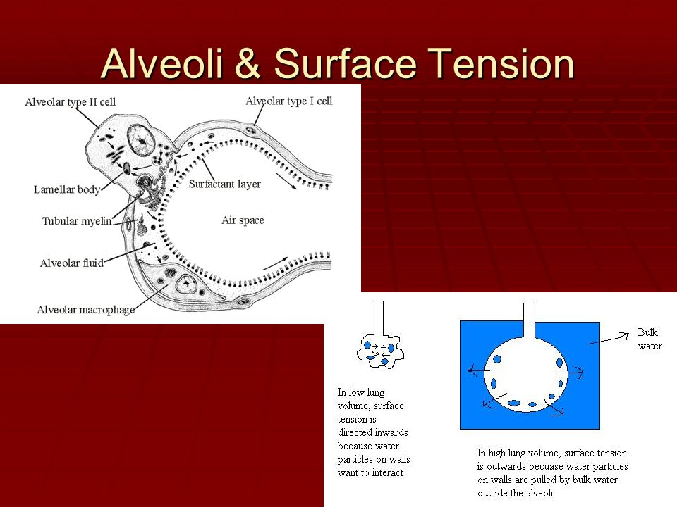 Alveoli & Surface Tension