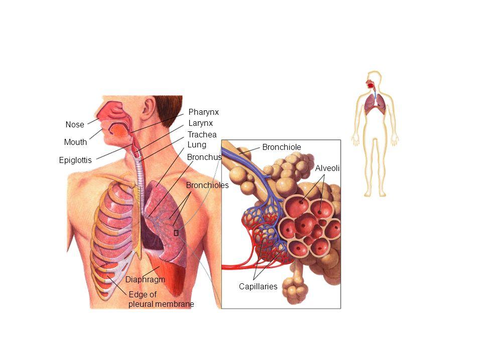 Mouth Nose Pharynx Larynx Trachea Lung Bronchus Bronchioles Edge of pleural membrane Diaphragm Epiglottis Capillaries Alveoli Bronchiole Section 37-3