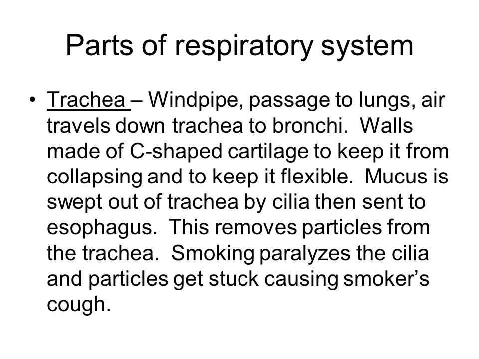Parts of respiratory system Trachea – Windpipe, passage to lungs, air travels down trachea to bronchi. Walls made of C-shaped cartilage to keep it fro
