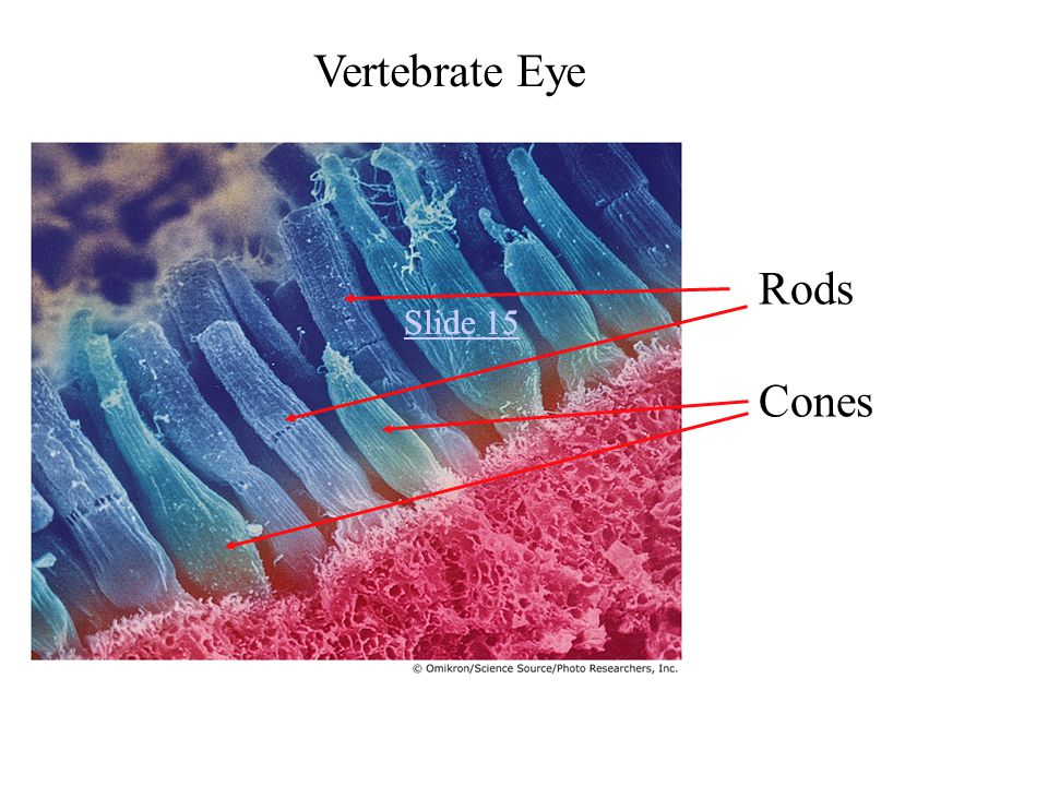 Slide 15 Vertebrate Eye Rods Cones