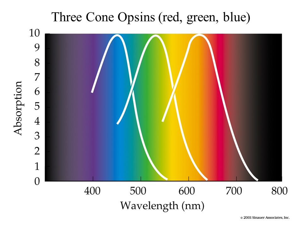 Three Cone Opsins (red, green, blue)