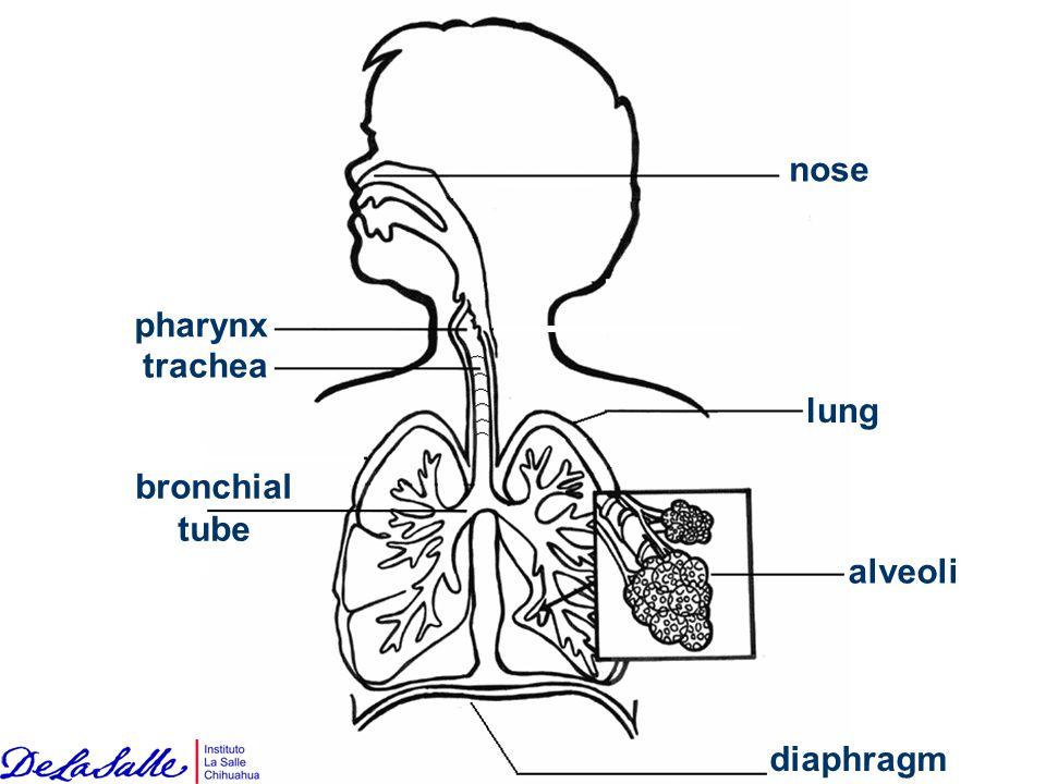 nose pharynx trachea lung bronchial tube diaphragm alveoli