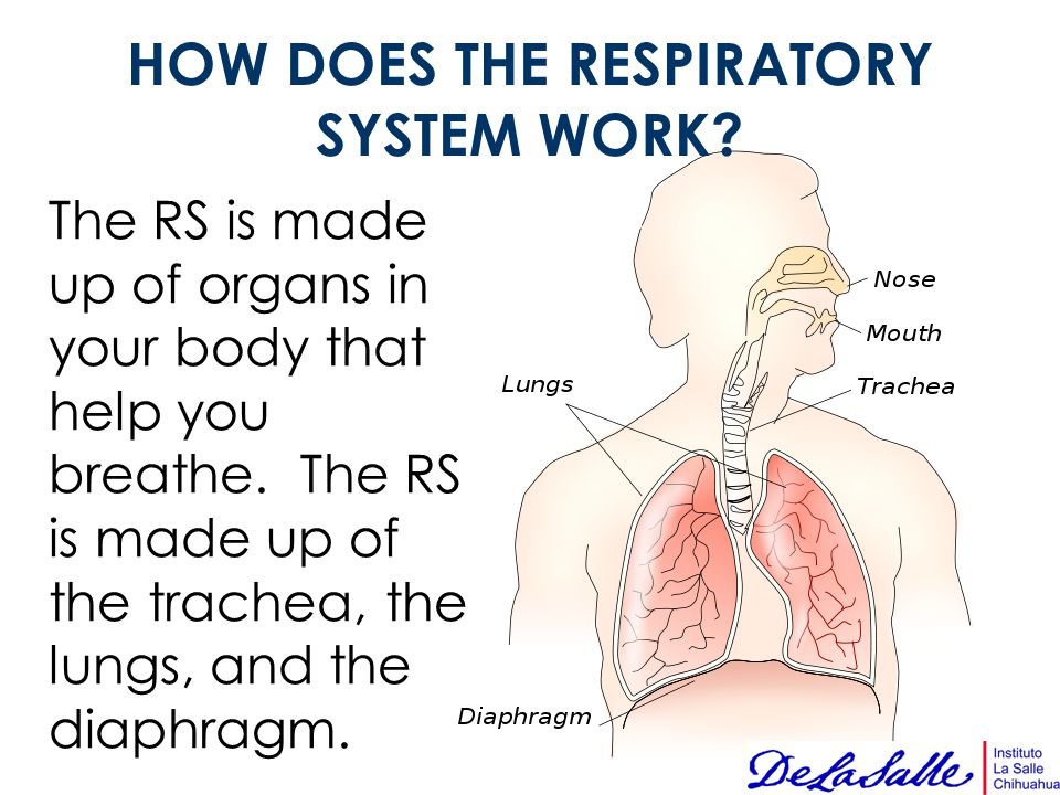 HOW DOES THE RESPIRATORY SYSTEM WORK? The RS is made up of organs in your body that help you breathe. The RS is made up of the trachea, the lungs, and