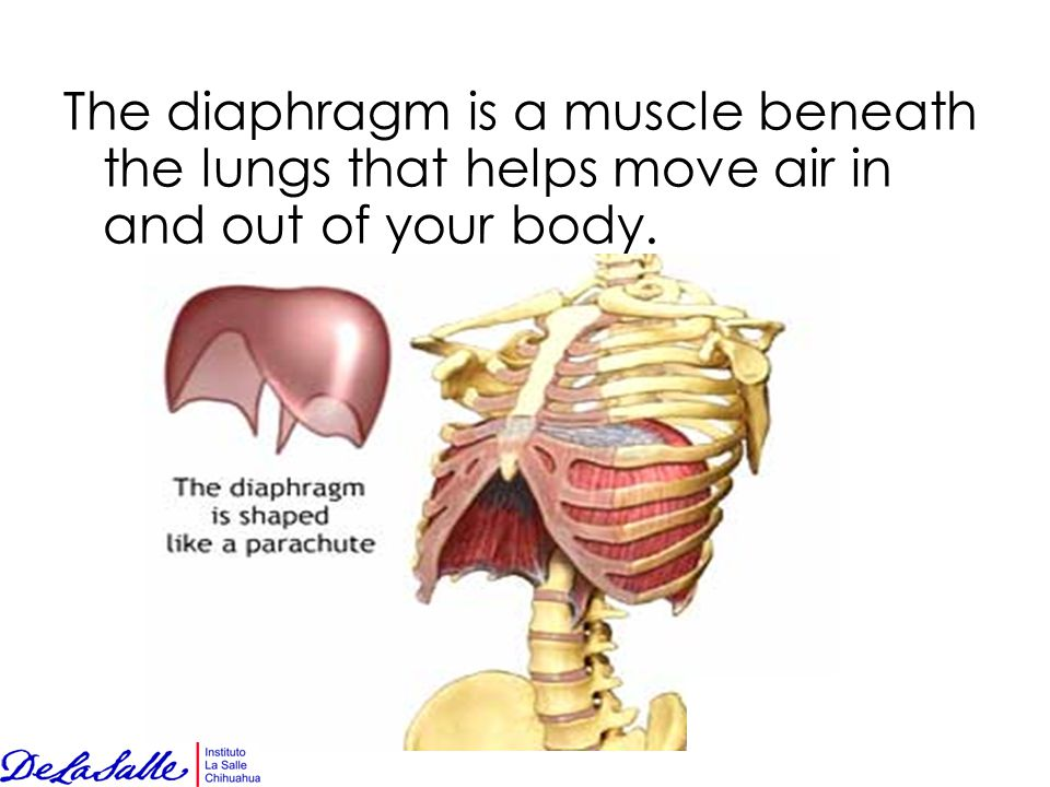 The diaphragm is a muscle beneath the lungs that helps move air in and out of your body.