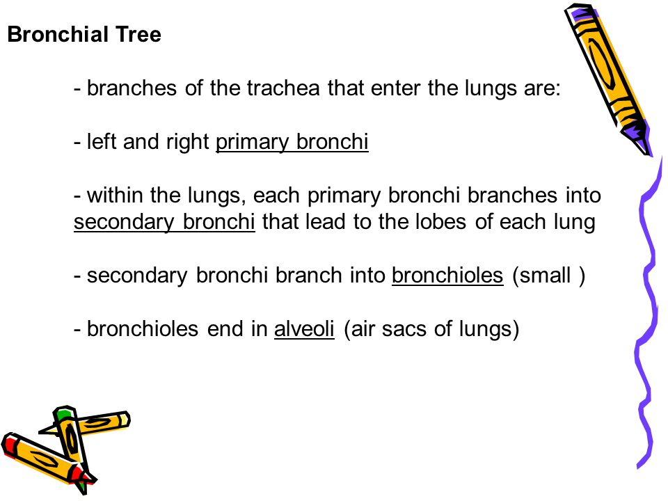 Bronchial Tree - branches of the trachea that enter the lungs are: - left and right primary bronchi - within the lungs, each primary bronchi branches into secondary bronchi that lead to the lobes of each lung - secondary bronchi branch into bronchioles (small ) - bronchioles end in alveoli (air sacs of lungs)