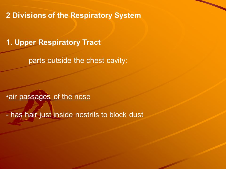 2 Divisions of the Respiratory System 1.Upper Respiratory Tract parts outside the chest cavity: air passages of the nose - has hair just inside nostrils to block dust