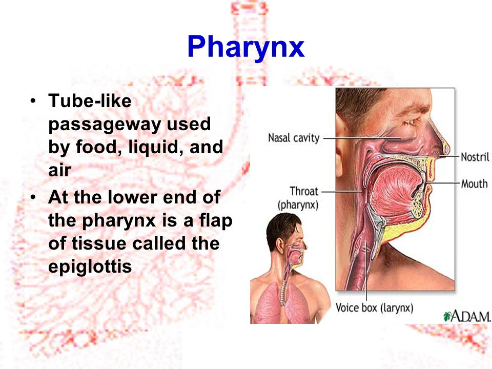 Larynx Voice box The airway to which two pairs of horizontal folds of tissue, called vocal cords, are attached