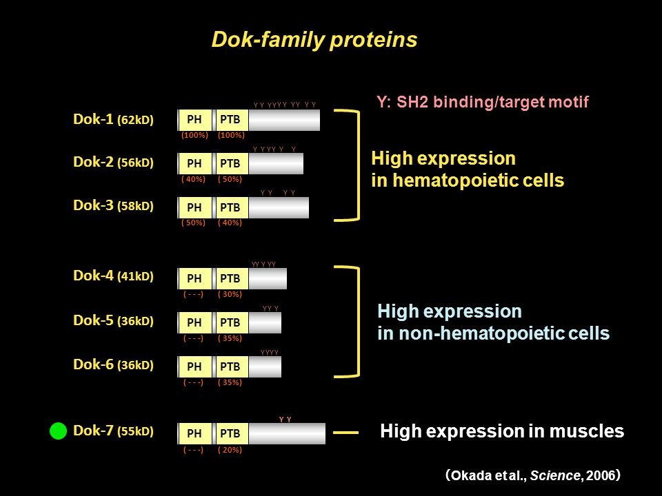 High expression in hematopoietic cells High expression in non-hematopoietic cells Dok-family proteins High expression in muscles Y: SH2 binding/target