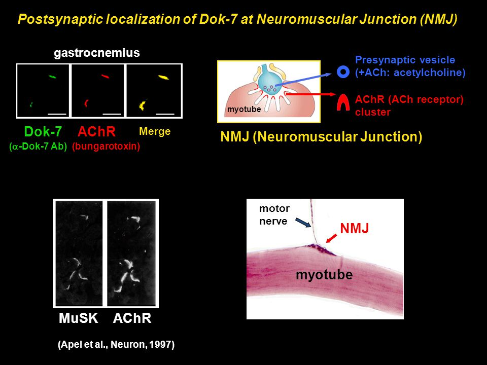 Postsynaptic localization of Dok-7 at Neuromuscular Junction (NMJ) NMJ (Neuromuscular Junction) gastrocnemius myotube AChR (ACh receptor) cluster Pres