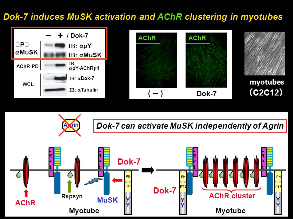 AChR MuSK AChR cluster Myotube Rapsyn LRP4LRP4 LRP4LRP4 LRP4LRP4 LRP4LRP4 Dok-7 PH PTB Y Y Agrin Dok-7 can activate MuSK independently of Agrin Dok-7