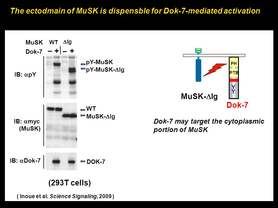 The ectodmain of MuSK is dispensble for Dok-7-mediated activation Dok-7 Y Y PH PTB MuSK-  Ig Dok-7 may target the cytoplasmic portion of MuSK Dok-7 M