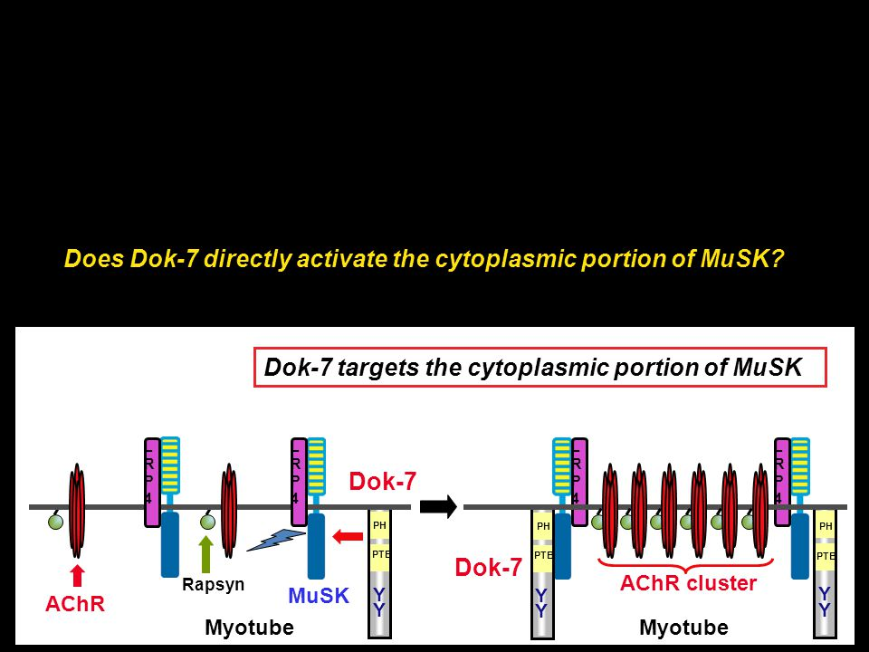 Dok-7 targets the cytoplasmic portion of MuSK AChR MuSK AChR cluster Myotube Rapsyn LRP4LRP4 LRP4LRP4 Dok-7 PH PTB Y Y Dok-7 PH Y Y PTB Y Y PH PTB LRP
