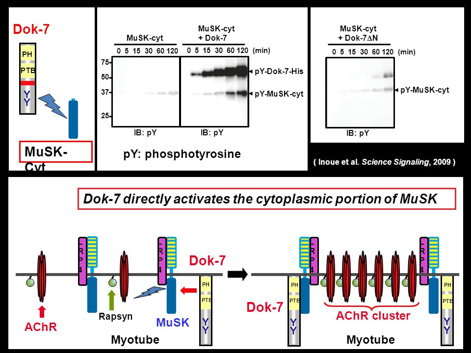 AChR MuSK AChR cluster Myotube Rapsyn LRP4LRP4 LRP4LRP4 Dok-7 PH PTB Y Y Dok-7 PH Y Y PTB Y Y PH PTB LRP4LRP4 LRP4LRP4 Dok-7 directly activates the cy