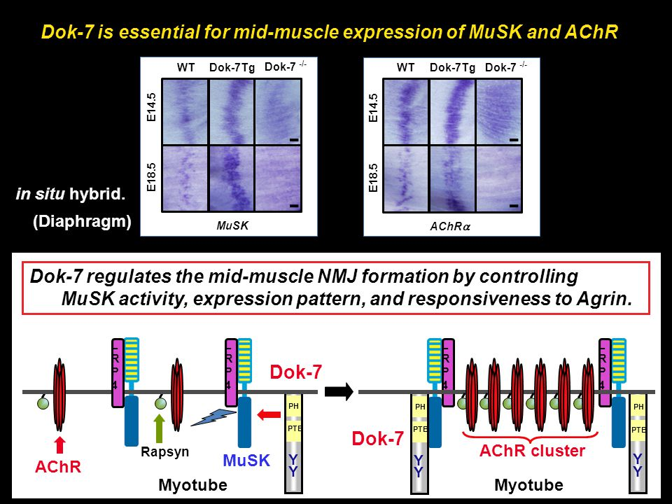 AChR MuSK AChR cluster Myotube Rapsyn LRP4LRP4 LRP4LRP4 Dok-7 PH PTB Y Y Dok-7 PH Y Y PTB Y Y PH PTB LRP4LRP4 LRP4LRP4 Dok-7 regulates the mid-muscle