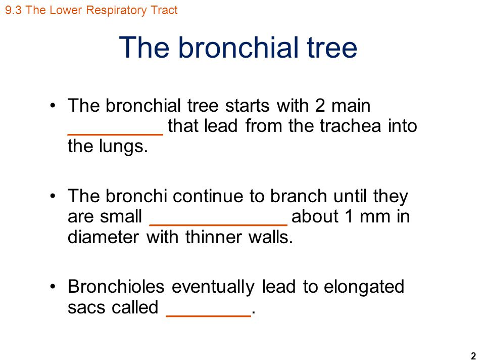2 The bronchial tree The bronchial tree starts with 2 main _________ that lead from the trachea into the lungs.