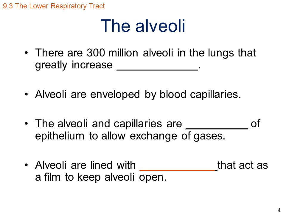 4 The alveoli There are 300 million alveoli in the lungs that greatly increase _____________.