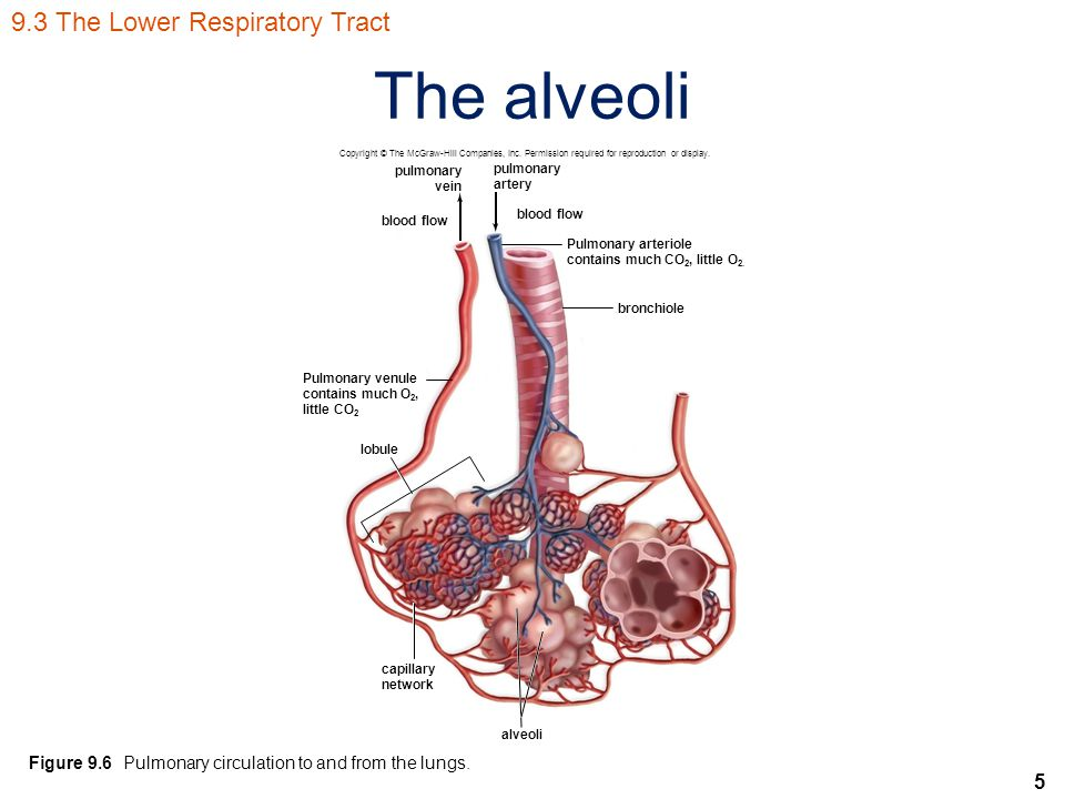 5 The alveoli Figure 9.6 Pulmonary circulation to and from the lungs.