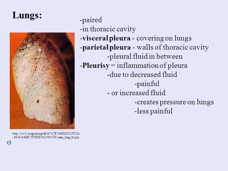 Lungs: http://www.lungusa.org/atf/cf/%7B7A8D42C2-FCCA -4604-8ADE-7F5D5E762256%7D/clean_lung_hr.jpg -paired -in thoracic cavity -visceral pleura - cove
