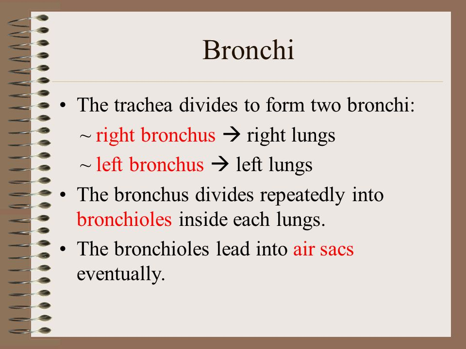 Bronchi The trachea divides to form two bronchi: ~ right bronchus  right lungs ~ left bronchus  left lungs The bronchus divides repeatedly into bron