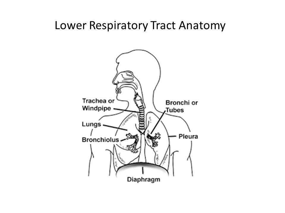 Lower Respiratory Tract Anatomy