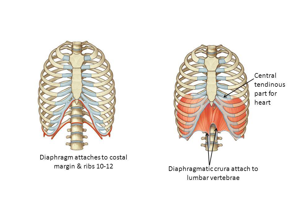 Diaphragm attaches to costal margin & ribs 10-12 Diaphragmatic crura attach to lumbar vertebrae Central tendinous part for heart