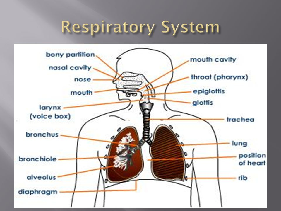  To deliver oxygen to our blood, which brings the oxygen to the cells throughout the body  To remove waste products, such as CO2