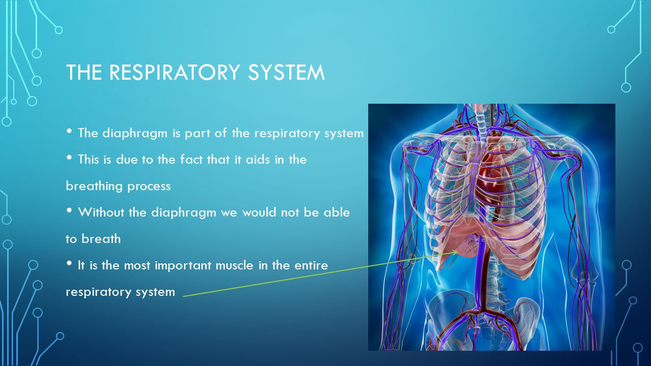 THE RESPIRATORY SYSTEM The diaphragm is part of the respiratory system This is due to the fact that it aids in the breathing process Without the diaphragm we would not be able to breath It is the most important muscle in the entire respiratory system