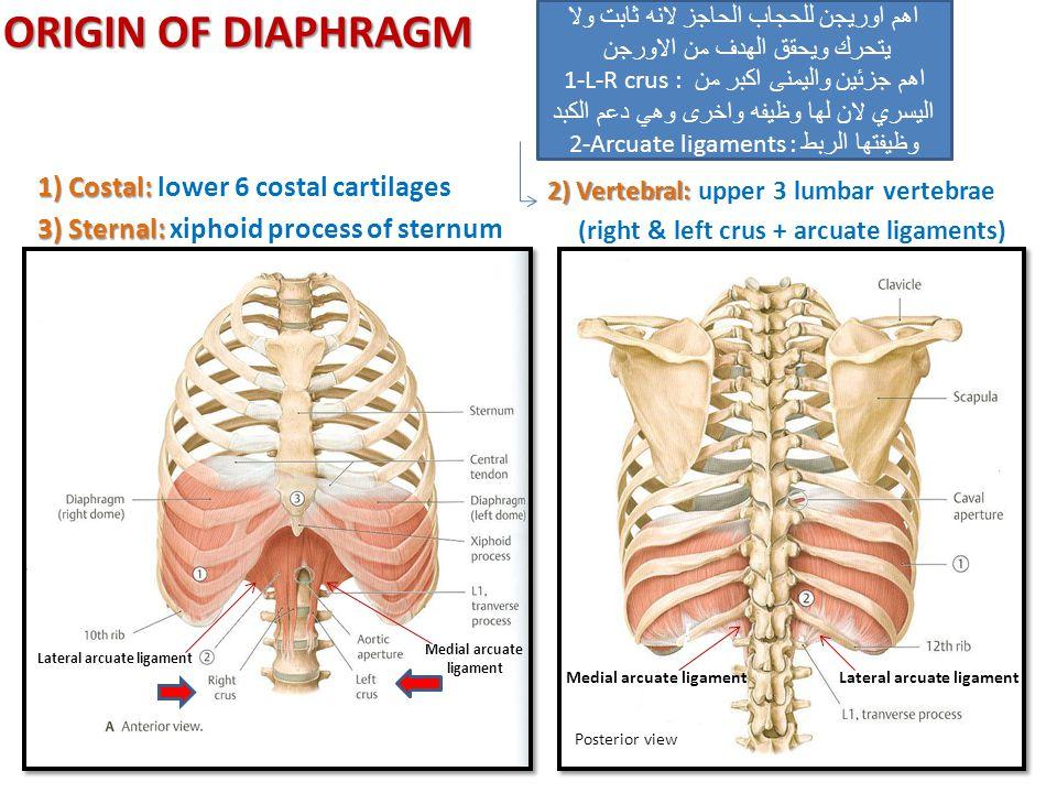 ORIGIN OF DIAPHRAGM 1)Costal: 1) Costal: lower 6 costal cartilages 3) Sternal: 3) Sternal: xiphoid process of sternum 2) Vertebral: 2) Vertebral: uppe