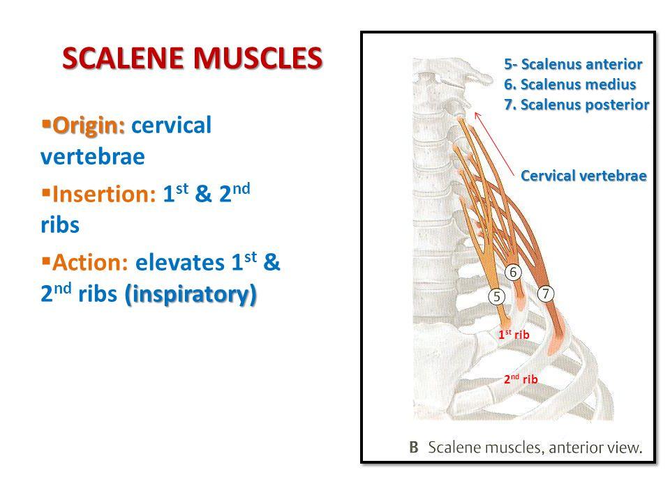 SCALENE MUSCLES  Origin:  Origin: cervical vertebrae  Insertion: 1 st & 2 nd ribs (inspiratory)  Action: elevates 1 st & 2 nd ribs (inspiratory) 5