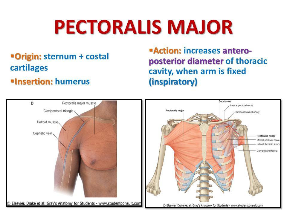 PECTORALIS MAJOR  Origin:  Origin: sternum + costal cartilages  Insertion:  Insertion: humerus  Action:antero- posterior diameter (inspiratory) 