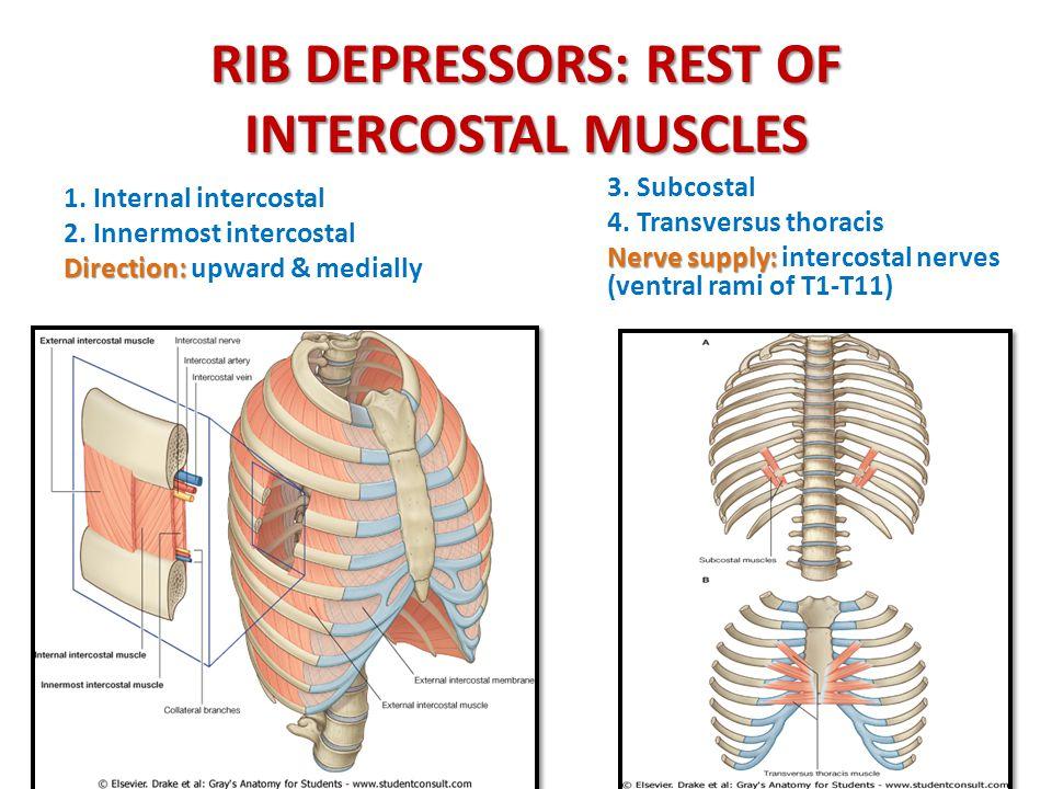 RIB DEPRESSORS: REST OF INTERCOSTAL MUSCLES 1. Internal intercostal 2. Innermost intercostal Direction: Direction: upward & medially 3. Subcostal 4. T