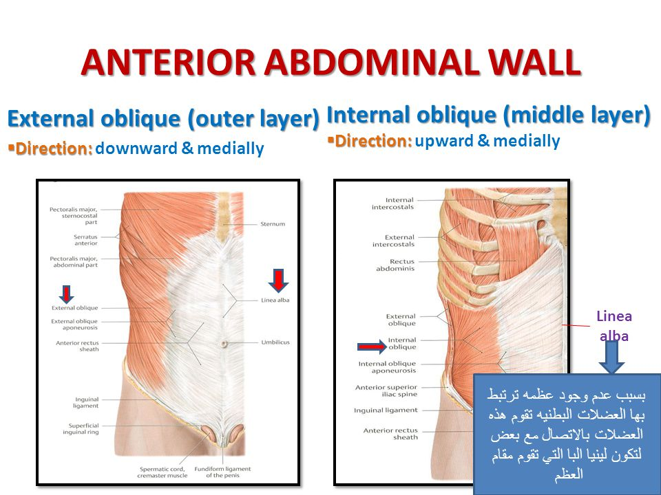 ANTERIOR ABDOMINAL WALL External oblique (outer layer)  Direction:  Direction: downward & medially Internal oblique (middle layer)  Direction:  Di