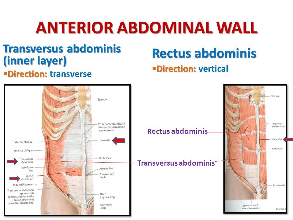 ANTERIOR ABDOMINAL WALL Transversus abdominis (inner layer)  Direction:  Direction: transverse Rectus abdominis  Direction:  Direction: vertical R