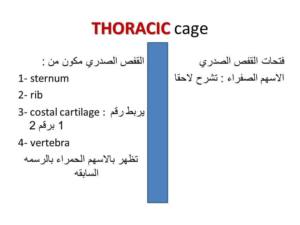 THORACIC THORACIC cage القفص الصدري مكون من : 1- sternum 2- rib 3- costal cartilage : يربط رقم 1 برقم 2 4- vertebra تظهر بالاسهم الحمراء بالرسمه الساب