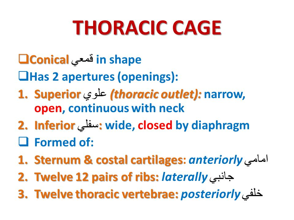 THORACIC CAGE  Conical  Conical قمعي in shape  Has 2 apertures (openings): 1.Superior (thoracic outlet): 1.Superior علوي (thoracic outlet): narrow,