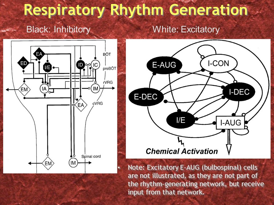 Respiratory Rhythm Generation Note: Excitatory E-AUG (bulbospinal) cells are not illustrated, as they are not part of the rhythm-generating network, but receive input from that network.