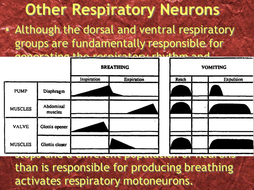 Other Respiratory Neurons Although the dorsal and ventral respiratory groups are fundamentally responsible for generating the respiratory rhythm and imparting it on respiratory motoneurons, their activity cannot explain all behaviors involving respiratory muscles.