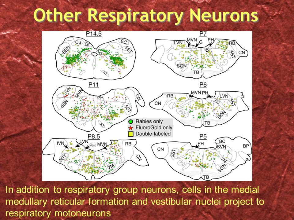 Other Respiratory Neurons In addition to respiratory group neurons, cells in the medial medullary reticular formation and vestibular nuclei project to respiratory motoneurons