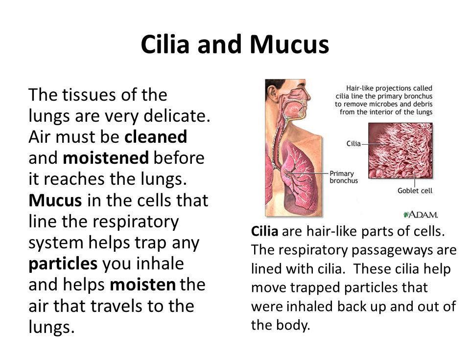 Cilia and Mucus The tissues of the lungs are very delicate. Air must be cleaned and moistened before it reaches the lungs. Mucus in the cells that lin