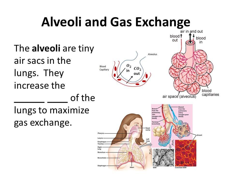 Alveoli and Gas Exchange The alveoli are tiny air sacs in the lungs. They increase the ______ ____ of the lungs to maximize gas exchange.