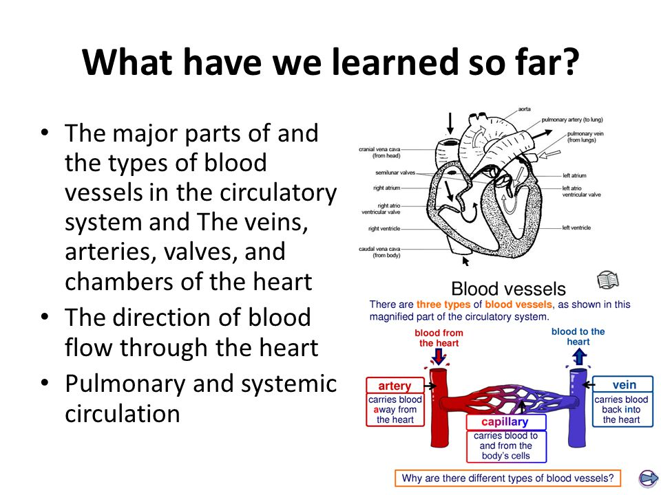 What have we learned so far? The major parts of and the types of blood vessels in the circulatory system and The veins, arteries, valves, and chambers