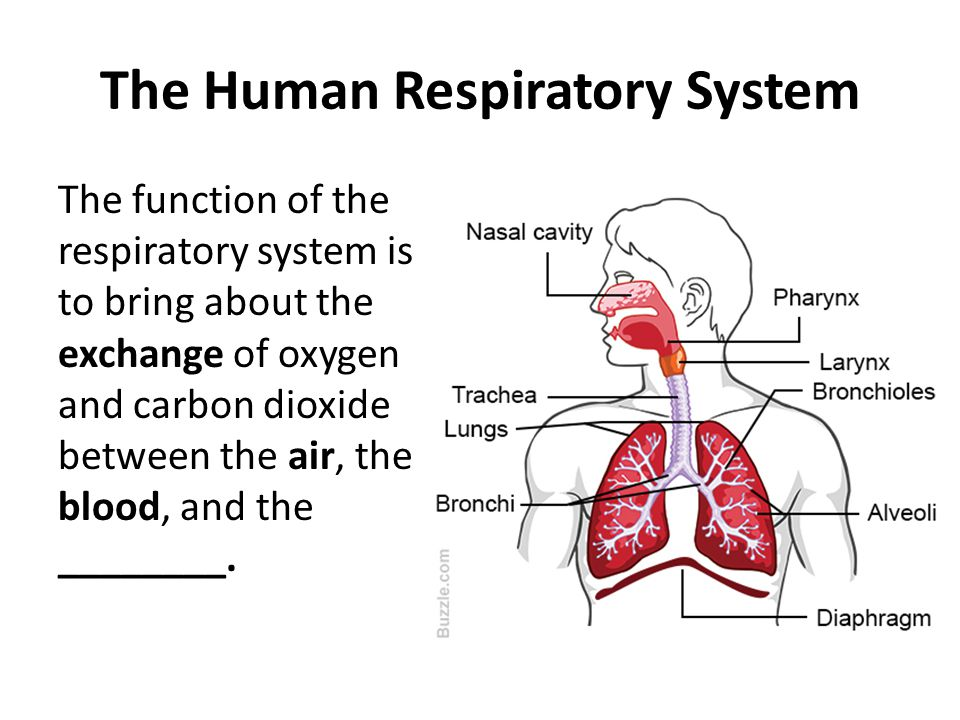The Human Respiratory System The function of the respiratory system is to bring about the exchange of oxygen and carbon dioxide between the air, the b