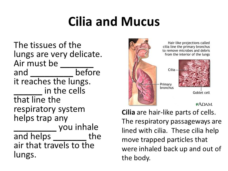 Cilia and Mucus The tissues of the lungs are very delicate. Air must be _______ and _________ before it reaches the lungs. ______ in the cells that li