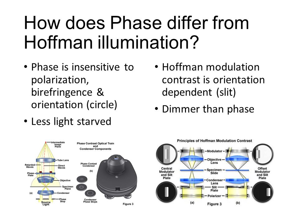 How does Phase differ from Hoffman illumination? Phase is insensitive to polarization, birefringence & orientation (circle) Less light starved Hoffman