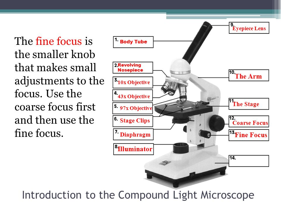 Introduction to the Compound Light Microscope The fine focus is the smaller knob that makes small adjustments to the focus. Use the coarse focus first