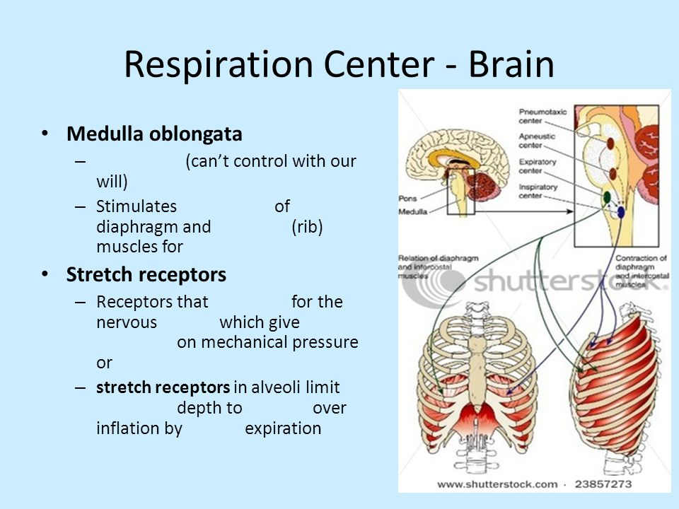 Respiration Center - Brain Medulla oblongata – (can't control with our will) – Stimulates of diaphragm and (rib) muscles for Stretch receptors – Recep