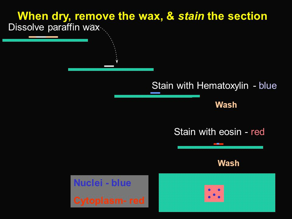 Dissolve paraffin wax Stain with Hematoxylin - blue Wash Stain with eosin - red Nuclei - blue Cytoplasm- red Wash When dry, remove the wax, & stain the section