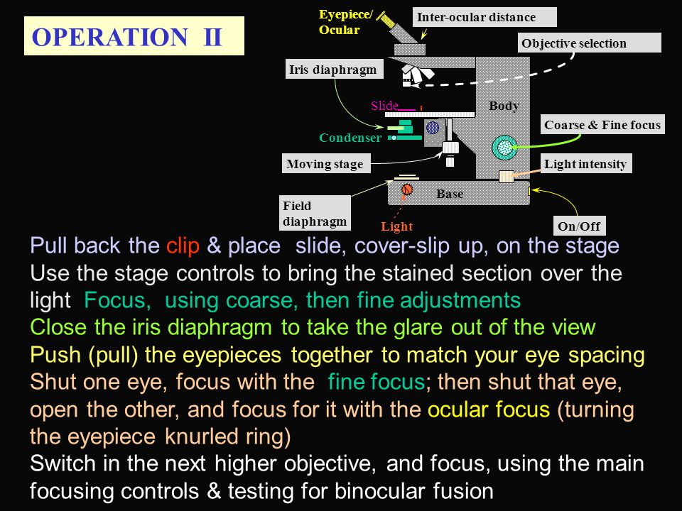 OPERATION II Field diaphragm Pull back the clip & place slide, cover-slip up, on the stage Use the stage controls to bring the stained section over the light Focus, using coarse, then fine adjustments Close the iris diaphragm to take the glare out of the view Push (pull) the eyepieces together to match your eye spacing Shut one eye, focus with the fine focus; then shut that eye, open the other, and focus for it with the ocular focus (turning the eyepiece knurled ring) Switch in the next higher objective, and focus, using the main focusing controls & testing for binocular fusion Base Condenser Eyepiece/ Ocular Slide Light Body Inter-ocular distance Moving stage Iris diaphragm Coarse & Fine focus Light intensity On/Off Objective selection