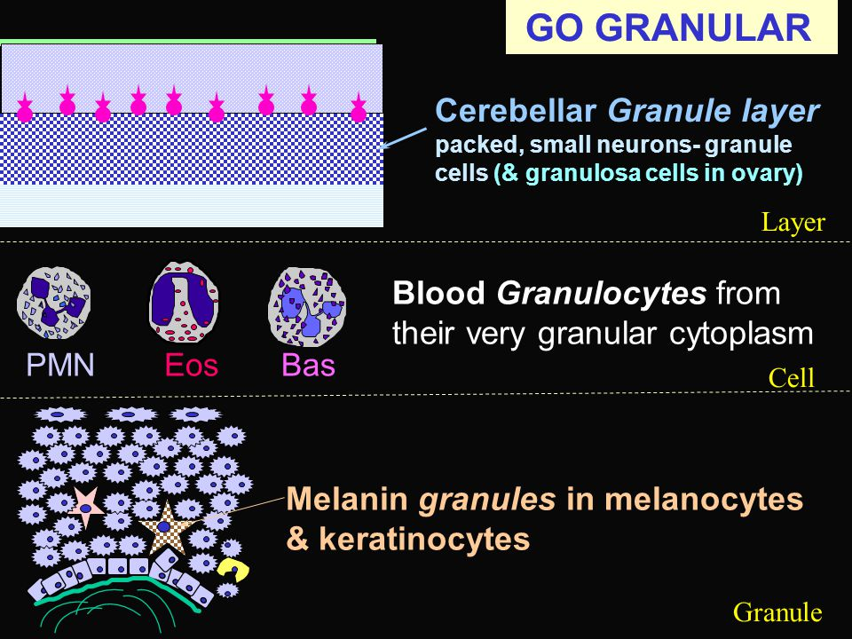 GO GRANULAR Cerebellar Granule layer packed, small neurons- granule cells (& granulosa cells in ovary) Melanin granules in melanocytes & keratinocytes BasEosPMN Blood Granulocytes from their very granular cytoplasm Layer Cell Granule