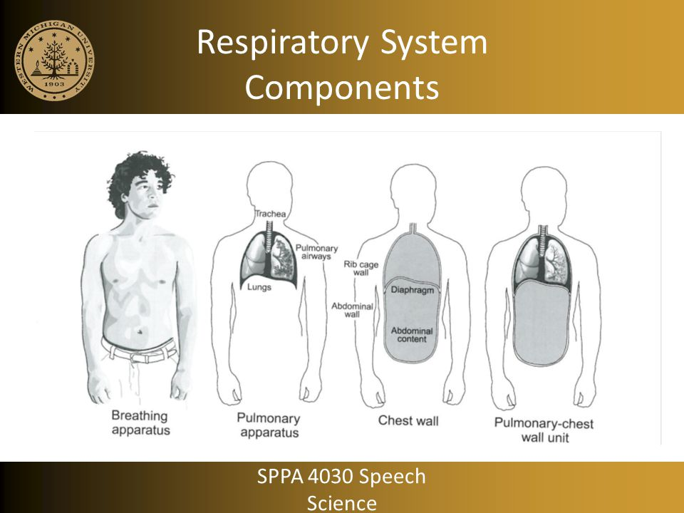 Breathing for Life: Expiration No muscle activity Recoil forces alone returns volume to REL SPPA 4030 Speech Science